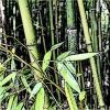 ça tient le bambou ?